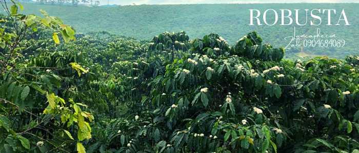 ca-phe-robusta-0904684089-270421_101