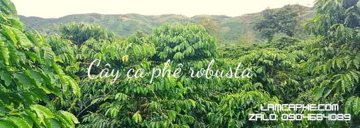 ca-phe-hat-robusta-0904684089-101020-1_100