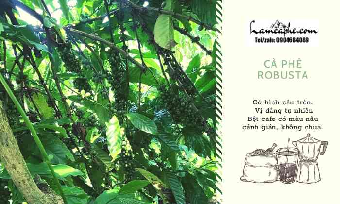 ca-phe-robusta-0904684089-021020-10